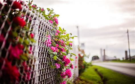 Pink rose flowers, fence, blurry background wallpaper