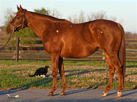 Colored Thoroughbred mare in foal : Broodmares / Prospects
