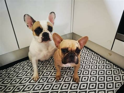 Beige French Bulldog Girl For sale | in Peterborough