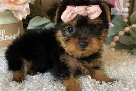 Sissy Tcup: Yorkshire Terrier - Yorkie puppy for sale near