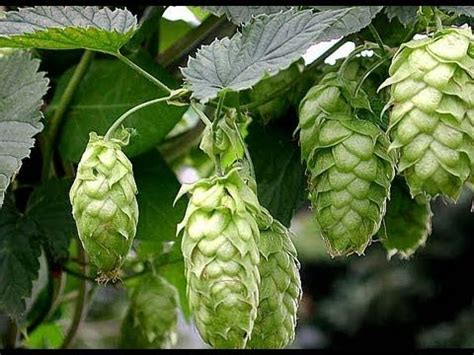 How to grow Hops (Ordered Hop Plants) - YouTube