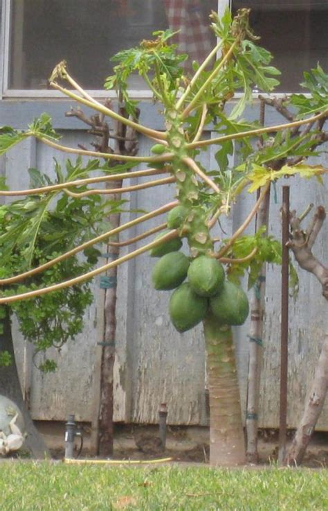 How to grow papaya fruit trees from seeds in your garden