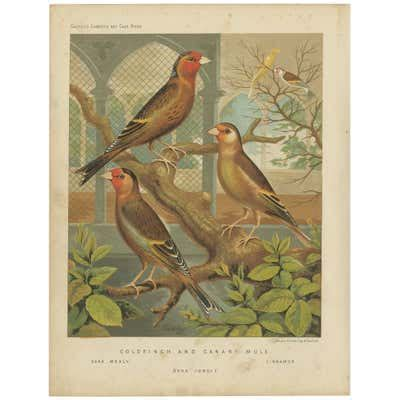 Antique Bird Print of Greenfinch and Canary Mule