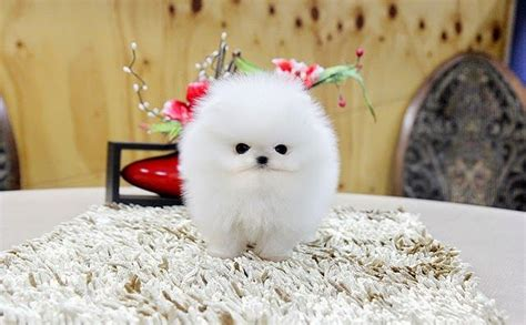 5 Most Adorable Teacup Puppies   Pomeranian puppy