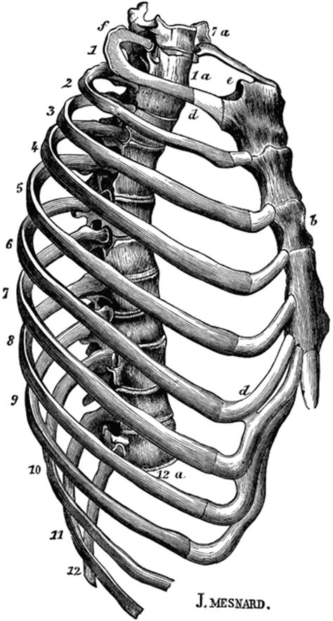 Human Thorax (Chest) | ClipArt ETC