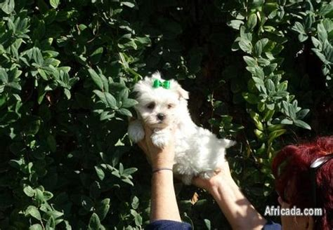 Maltese Puppies for sale | Dogs / Puppies for sale in Cape