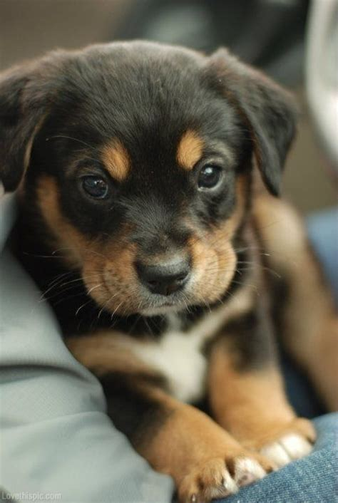 Black and brown puppy cute photography animals dogs