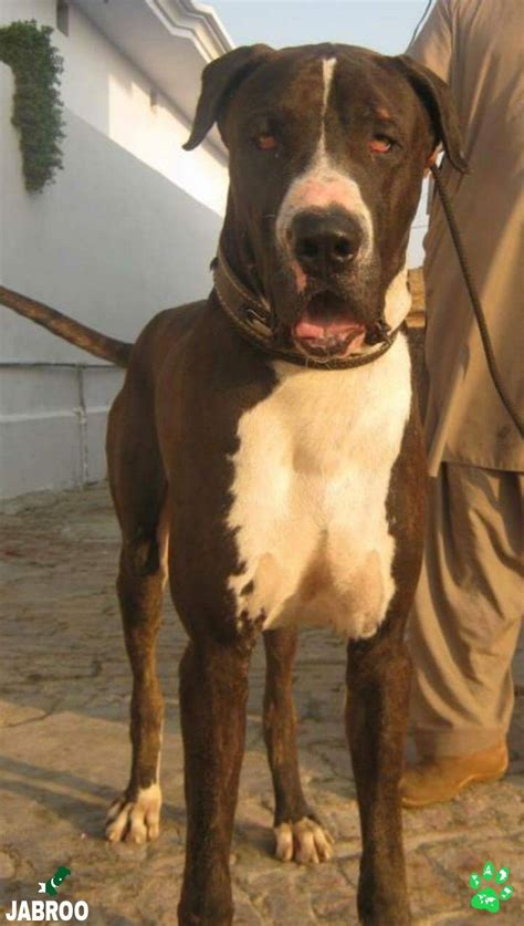 Bully Dog For Sale In Pakistan