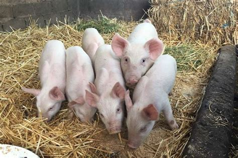 Piglets for Sale Pigs Livestock Farm Equipment for sale in