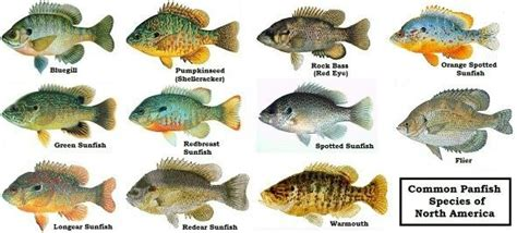Do all major types of freshwater fish have many bones and