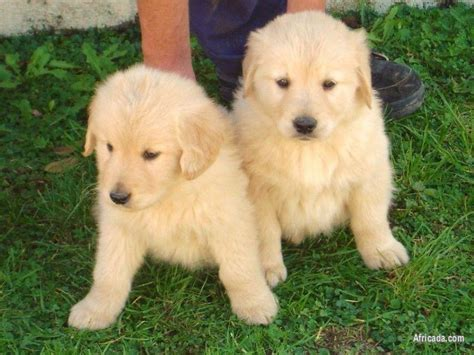 2 Golden Retriever Female puppies | Dogs / Puppies for