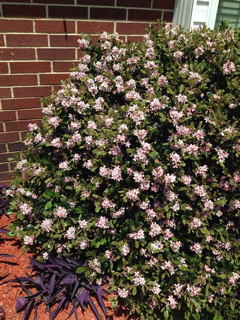 Indian hawthorn Good for pots and hedges, needs full sun