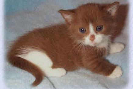 Munchkin Short Hair Kittens for Sale in Westchester, NY