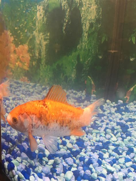 Goldfish jumped out of tank | Site for Goldfish Keepers