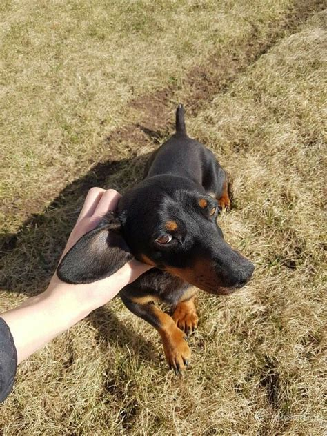 Dachshund Male 2 Years Old | in Peterborough