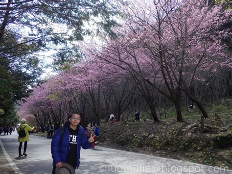 Taiwan Cherry Blossoms 2021 Ultimate Travel Guide: When