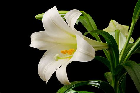 The Deadly Easter Lily: Toxicity in Cats | Blue Cross