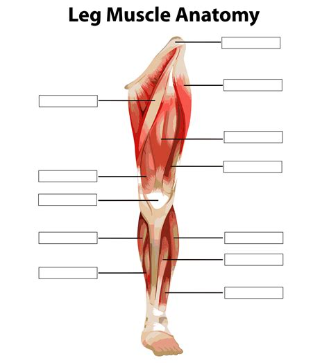 6 Best Images of Printable Worksheets Muscle Anatomy