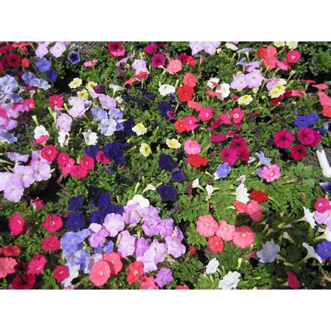 Potted Colour | Flowering Plants From Bunnings Warehouse