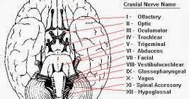 Cranial Nerves Mnemonic Collections for Medical Students