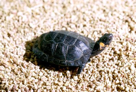 Big Headed Turtle - Learn About Nature
