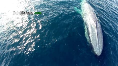 Drones Over Blue Whales, Gray Whales in Surf, Megapod of