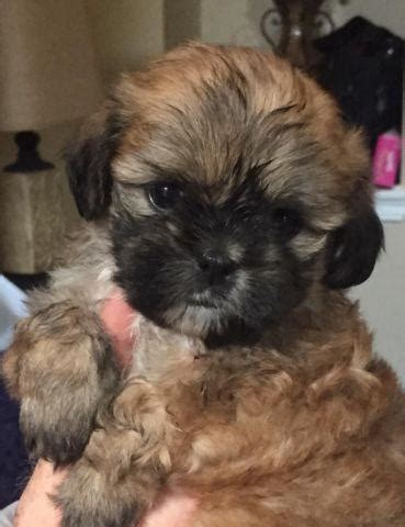 Adorable Shih Tzu puppies for adoption - 7 weeks old for