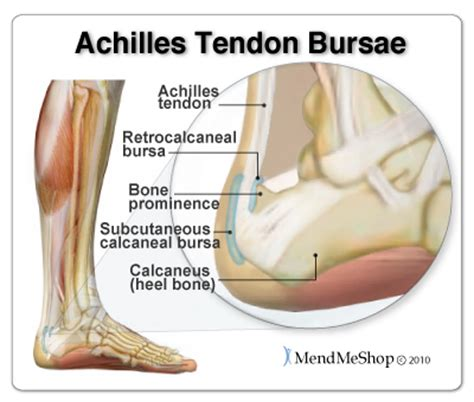 Anatomy of the Achilles, Posterior Heel view and Ankle view
