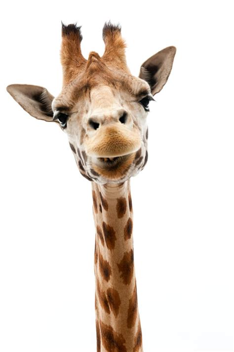 New Research Reveals There Are 4 Separate Species of Giraffes