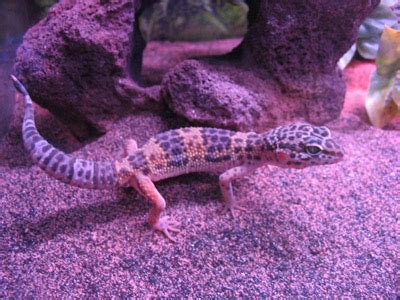 W Midlands 12 month old male leopard gecko - Reptile Forums