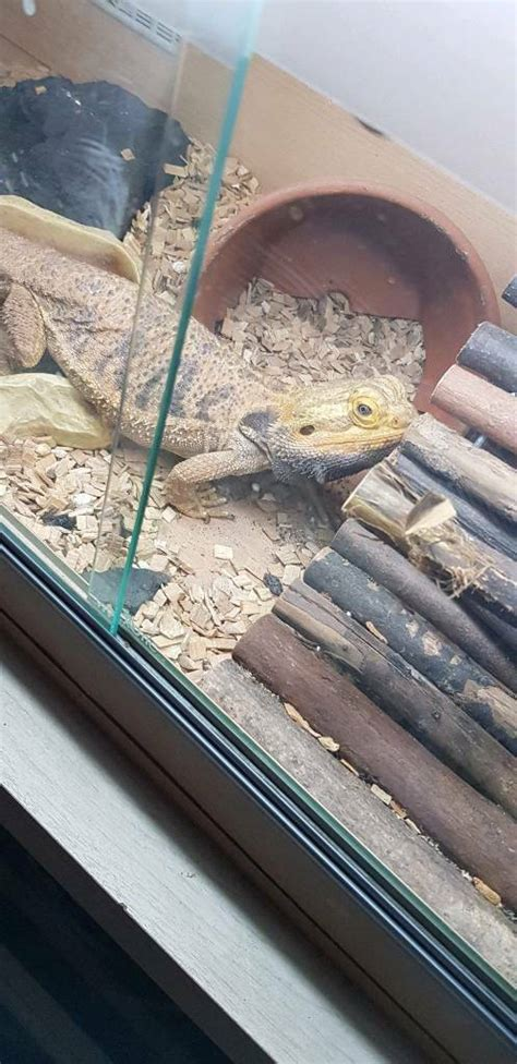 Bearded dragon and setup   in Walsall, West Midlands   Gumtree