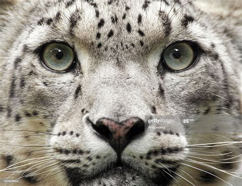 Snow Leopard Close Up High-Res Stock Photo - Getty Images